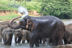 Elephants in Sri Lanka Yala